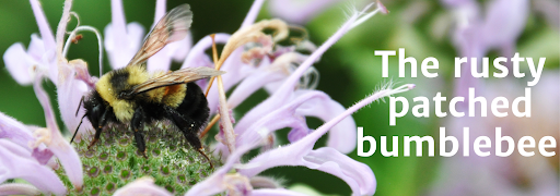 "Bee on flower with overlying text reading ""The rusty patched bumblebee"""